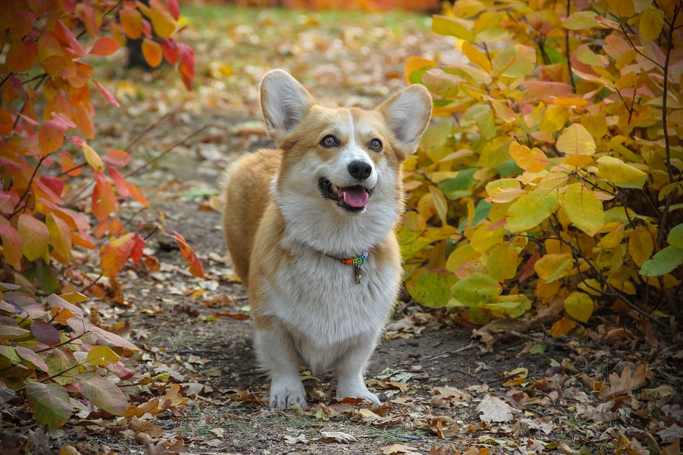 fall safety corgi leaves